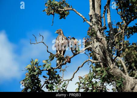 Changeable hawk eagle in Udawalawe National Park, Sri Lanka - Stock Image
