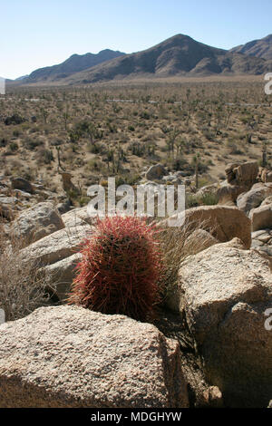 Ferocactus cylindreus among the stones, Cacti with red prickles among stone rocks - Stock Image