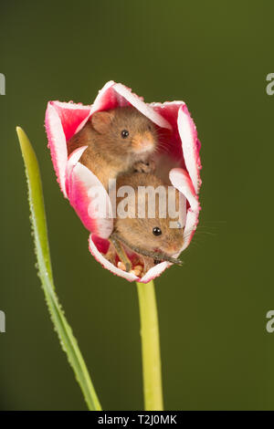 Two harvest mice (Micromys minutus), a small mammal or rodent species. Cute animals in a pink and white tulip flower. - Stock Image