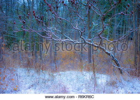 Staghorn sumac Rhus typhina rimmed with the first snow of winter in Rouge National Urban Park in Toronto Ontario Canada - Stock Image