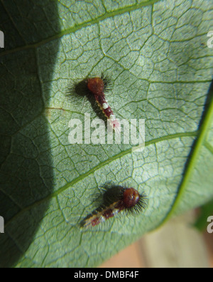 newly hatched and very young Blue Morpho Butterfly larvae or caterpillars - Stock Image