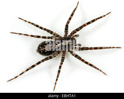 A female Wolf spider (Acantholycosa lignaria) on white background. Wolf spiders are part of the family Lycosidae. - Stock Image