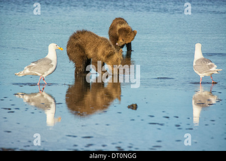 Two Grizzly Bear Spring Cubs, Ursus arctos, clamming in the tidal flats of the Cook Inlet, Alaska, USA, as Two Gulls watch - Stock Image