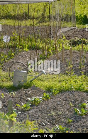 Young potato plants and pea plants growing in a vegetable garden in Spring, Wales, UK - Stock Image