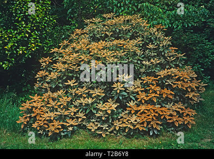 A large bush of Rhododendron pachytricbum in a country garden - Stock Image