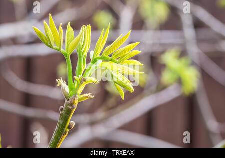 Freshly burst leaves of walnut tree close-up. Spring background. - Stock Image