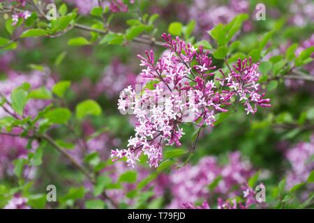 Syringa meyeri 'Palibin' flowers in Spring. - Stock Image