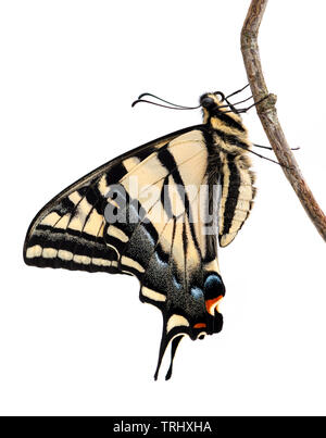 A newly emerged western tiger swallowtail (Papilio rutulus) butterfly drying its wings - on a white background - Stock Image