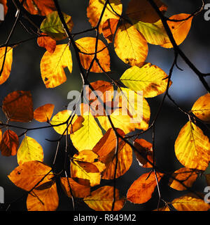 Backlit Beech leaves (Fagus sylvatica) in rich autumn colours. Tipperary, Ireland - Stock Image