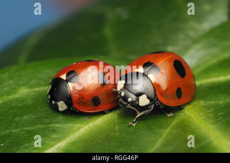 Two 7-spot Ladybirds (Coccinella septempunctata) resting on Ivy leaf in winter. Tipperary, Ireland - Stock Image