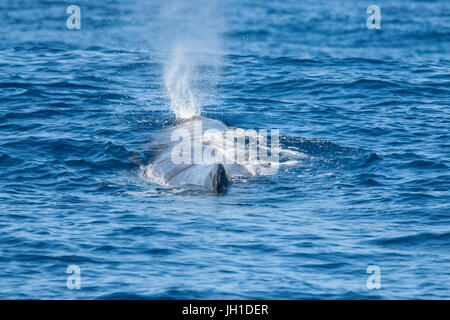 Sperm whale, Physeter macrocephalus, cachalot or Pottwal, blowing at surface, Azores, Atlantic Ocean - Stock Image