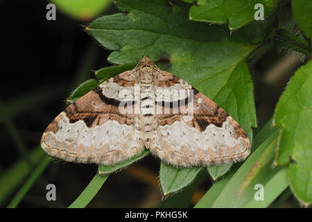 Flame Carpet moth (Xanthorhoe designata) perched on low down plant. Tipperary, Ireland - Stock Image