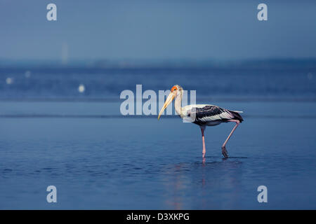 Painted Stork - Stock Image