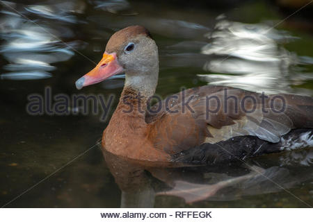 Black-bellied Whisting Duck, Brevard Zoo, Florida - Stock Image