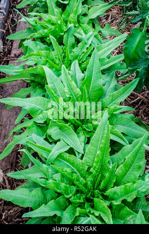 Flourishing celtuce lettuce, sometimes called stem lettuce - Stock Image