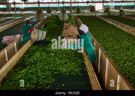Kenya, Kericho county, Kericho, Momul tea factory of Kenya Tea Development Agency (KTDA) - Stock Image