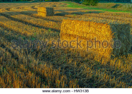 Early morning photography at 05.30am, getting the golden light on the hay. - Stock Image