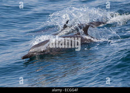 Pantropical Spotted Dolphin, Stenella attenuata, Schlankdelfin, wakeriding, Indonesia - Stock Image