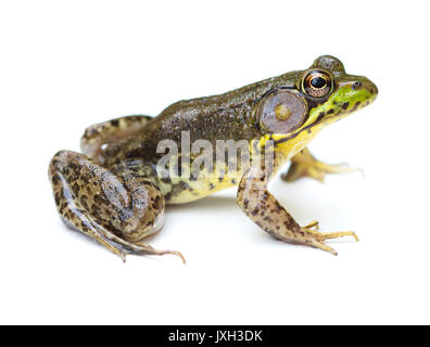 Green Frog (Lithobates clamitans) isolated on a white background - Stock Image