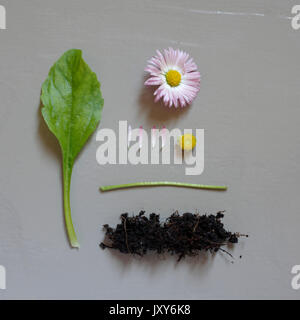 Common Daisy, Bellis perennis taken into pieces. - Stock Image