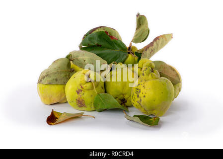 Autumn green quince with leaves, details. White background. - Stock Image