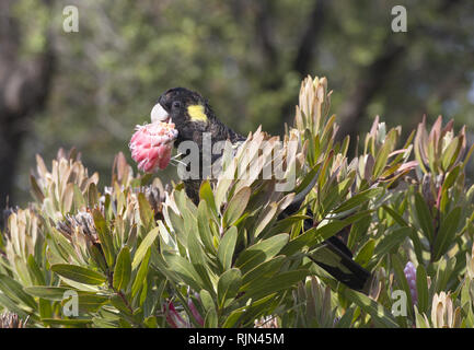 Attractive yellow tailed black cockatoo feasts on natural blossom on Bruny Island in Tasmania, Australia; - Stock Image