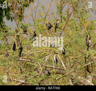 reed cormorants (Microcarbo africanus), also known as the long-tailed cormorant, on a tree in the swamps of Mabamba, Lake Victoria, Uganda - Stock Image