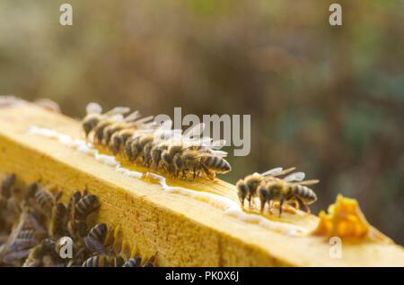 Beautiful bees eating honey. Close up image - Stock Image