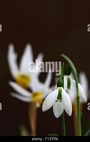 Galanthus Emerald Isle,snowdrop,snowdrops,Irish snowdrop,hybrid,green markings,virescent,spring,flower,flowers,RM Floral - Stock Image
