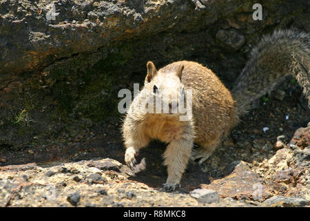 Close up of a common California ground squirrel leaving its rocky burrow on the west coast of the USA - Stock Image