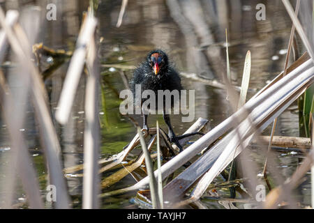 Young moorhen (Gallinula chloropus) amongst reeds in spring - Stock Image