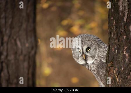 Great grey owl, Strix nebulosa, on  woodland edge, late autumn colours in background. - Stock Image