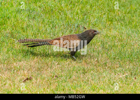 Pheasant Tailed Coucal Brisbane Australia - Stock Image