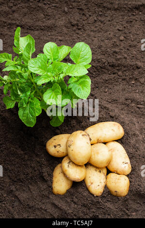 Potato  sprouts with baby bulbs in soil. Concept of huge harvest. - Stock Image