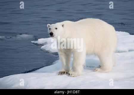 Male Polar Bear, Ursus maritimus, on an iceberg, Baffin Island, Canadian Arctic - Stock Image