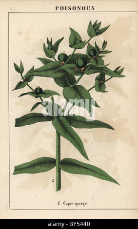 Caper spurge with green seeds, Euphorbia lathyris. - Stock Image