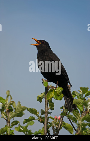 A European cock Blackbird (Turdus merula) singing from an apple tree in spring - Stock Image