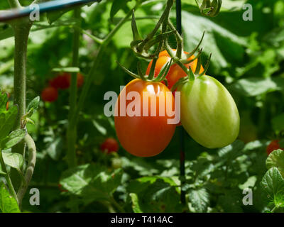 Freshly picked carrots on a work bench out doors - Stock Image