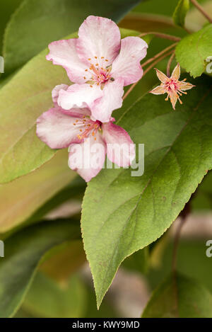 pink flowers on ornamental tree - Stock Image