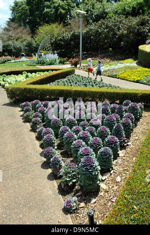 Ornamental cabbages growing in the Roma Street Parkland, Brisbane, Queensland, Australia - Stock Image