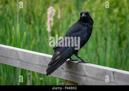 Carrion crow perched on a wooden fence post - Stock Image