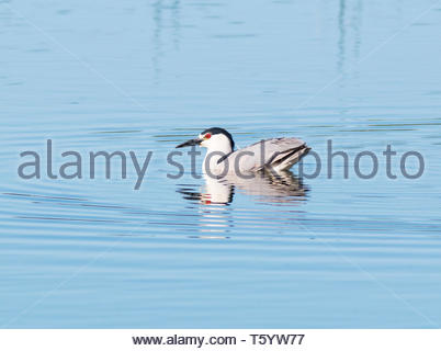 Black-crowned Night-Heron, Nycticorax nycticorax, swimming onn pond in Arizona USA - Stock Image
