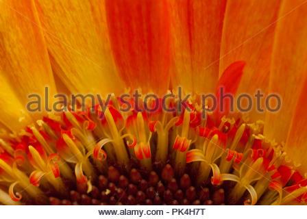 Great Image of a Beatiful Chrysanthemum Flower - Stock Image