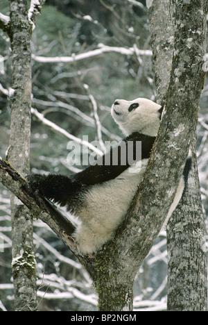 Young giant panda, rests in fork of tree Wolong, China, February - Stock Image
