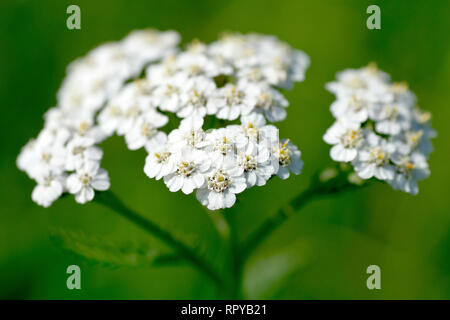 Yarrow or Milfoil (achillea millefolium), close up of the white variety of the flower with low depth of field. - Stock Image