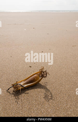 Mermaid's Purse or the egg case or chondrichthyes of the Dogfish Scyliorhinus canicula a species of catshark washed up on Harlech  beach Wales - Stock Image