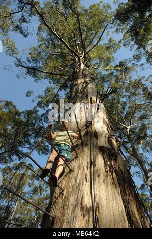 Woman climbing the 53 metre tall Gloucester Tree, Pemberton, Western Australia - Stock Image