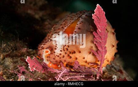 Neobernaya spadicea, Chestnut cowrie - Stock Image