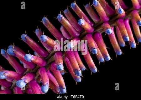 matchstick bromeliad closeup - Stock Image