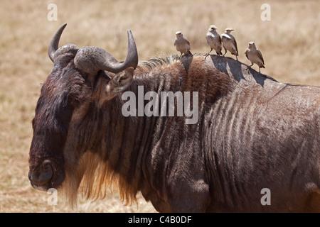 Tanzania, Ngorongoro. A wildebeest plays host to four oxpeckers. - Stock Image
